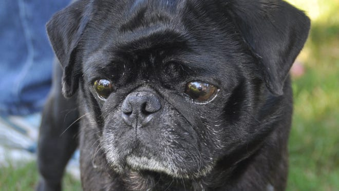 Gizmo, a black pug, is ready to run in the new Bonita Dog Park.