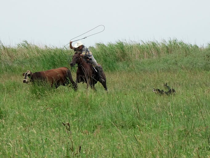 A rancher ropes a cow a cattle is rounded up to be