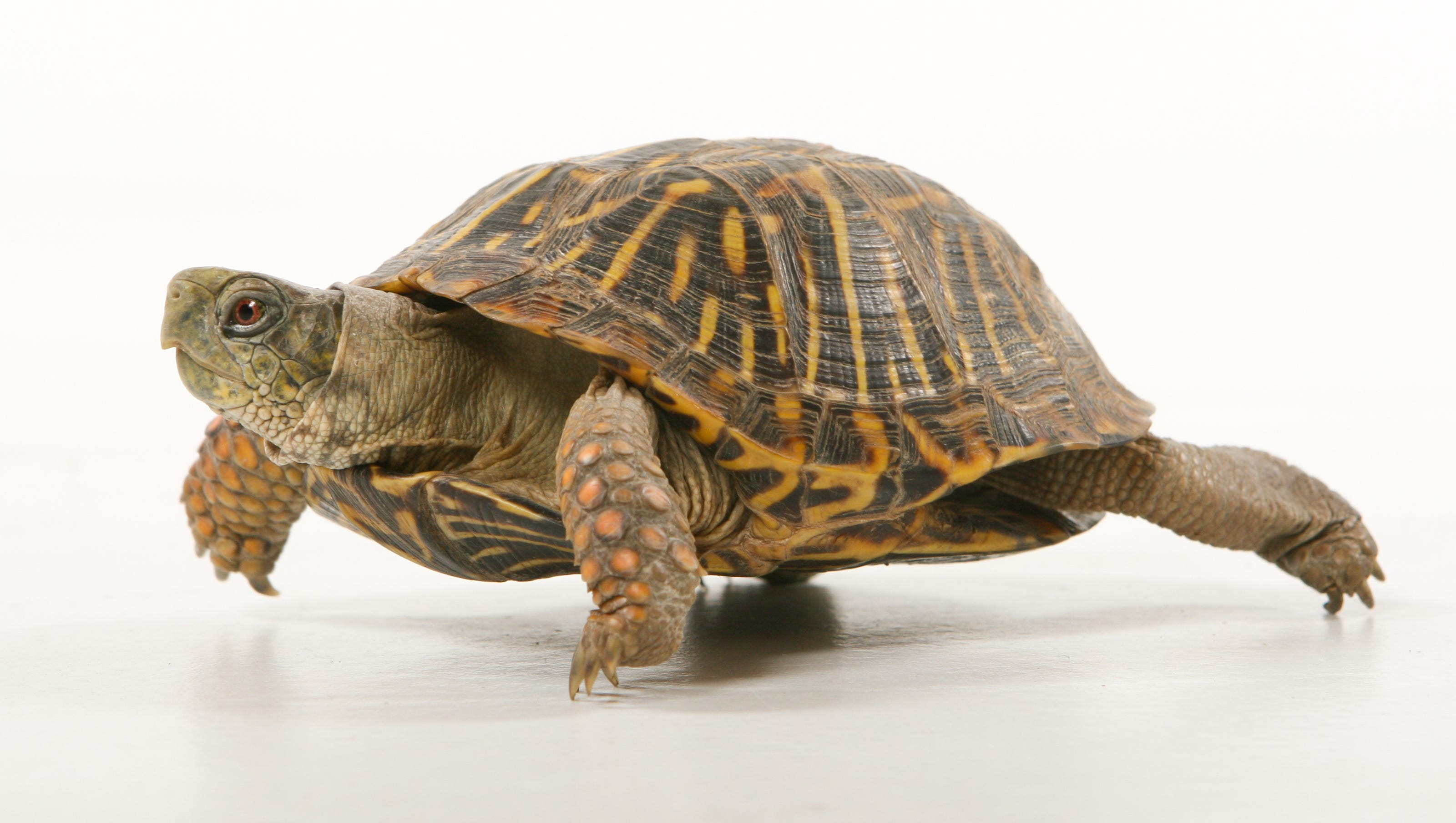 Pet turtles linked to salmonella outbreak in 13 states