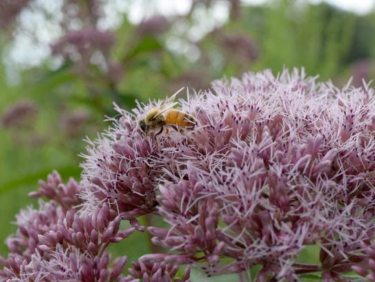 A honeybee forages on sweet Joe Pye weed.