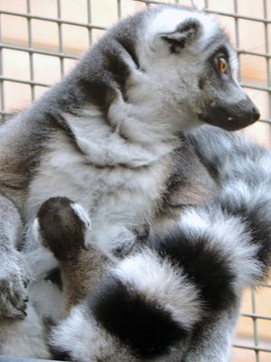 Two lemur babies were born Tuesday, Aug. 16, 2016, to 6-year-old Selma at the Seneca Park Zoo.
