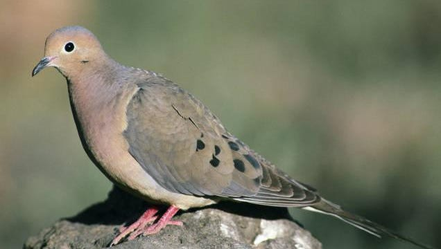 When taking off in flight, the mourning dove's wings make a rhythmic whistling sound.