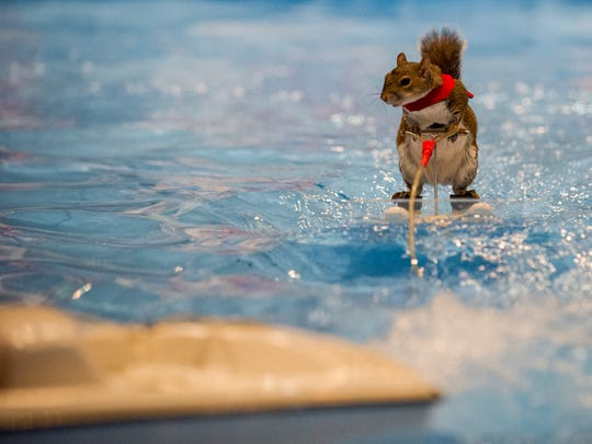 Twiggy the Water-Skiing Squirrel performs at all Splash Kingdom Family Water Parks throughout Texas and in Shreveport.