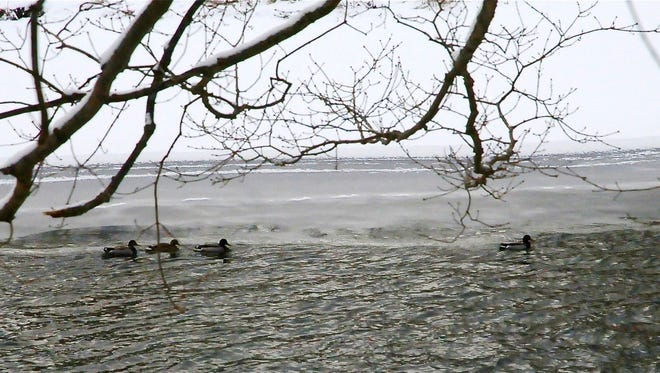 Winter mallards on the Chenango River.