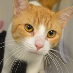 Maximus, 10 months, neutered, alert, friendly, seeks indoors only, loving forever home.