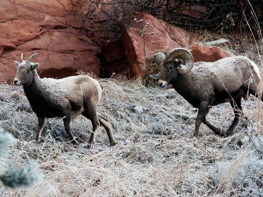 635941564998183965-Bighorn-Sheep-Domesti-Davi.jpg