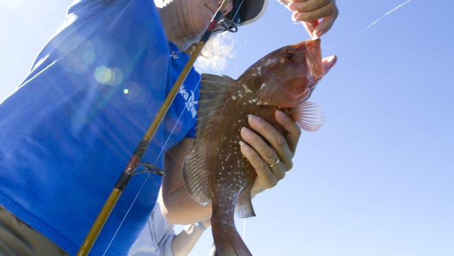 Sea Grant agent Betty Staugler unhooks red grouper caught as part of a media demonstration on the use of fish descending devices.