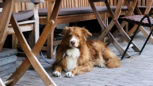 Border collie under table