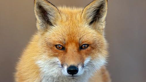 A possibly rabid fox may be responsible for three attacks Saturday in Stanhope.