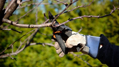 Pruning trees and shrubs.