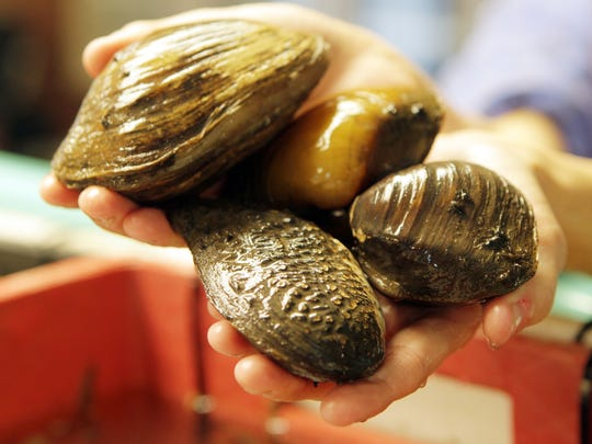 Freshwater mussels – clockwise from bottom a pistolgrip, Mucket, pocketbook and pigtoe mussel – are kept in propogaton tanks at the Thomas More Biology Field Station.  Station staff hope to return them to the Ohio River, where they serve as a natural filter.