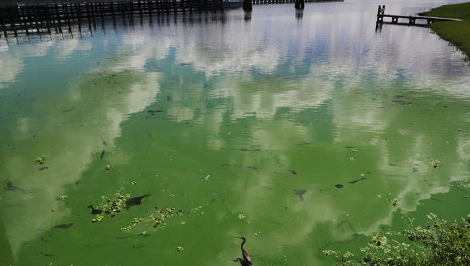 A tri-colored heron wades in an algal bloom along the wall at the Franklin Locks in Alva on Monday 6/26/2018.  An algal bloom has pushed up against the lock. Reports of algae on the river have been reported since last week. Most reports are east of the Franklin Locks. Some are worried that it might move west towards the estuary. The DEP is testing the algae later this week to see if it is toxic.