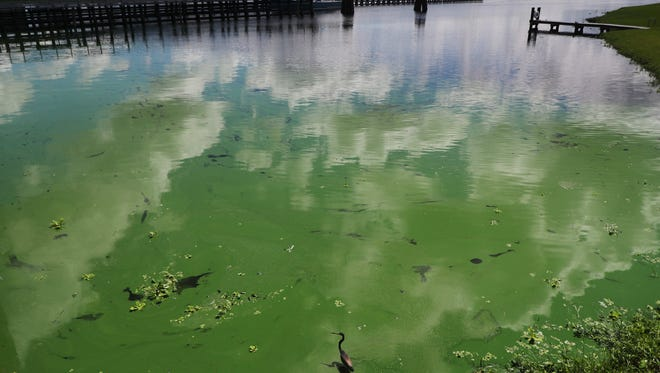A tri-colored heron wades in an algal bloom along the wall at the Franklin Locks in Alva on Monday, June 25, 2018. An algal bloom has pushed up against the lock. Reports of algae on the river have been reported since last week. Most reports are east of the Franklin Locks. Some are worried that it might move west towards the estuary. The DEP is testing the algae later this week to see if it is toxic.