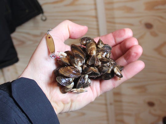 An angler holds a clump of mussels.