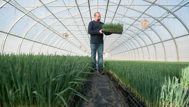 Leek seedlings need to be tended by machine to ensure they grow stronger and fatter, says Andrew Pagini.