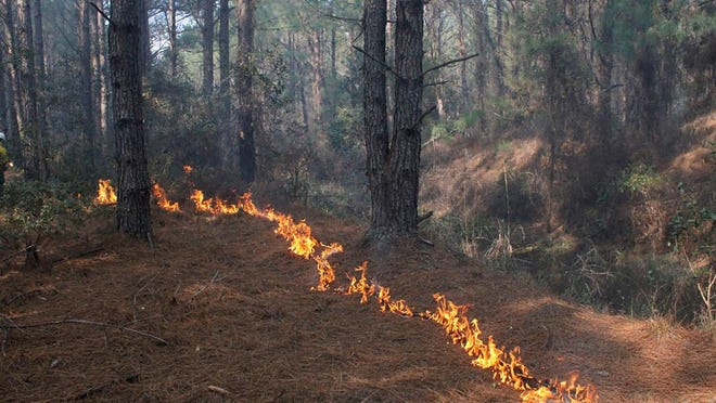 In order for longleaf pine seeds to grow, they first need to be exposed to fire in order to germinate. Furthermore, low intensity ground fires are a crucial factor in maintaining a healthy ground layer ecosystem in longleaf forests.