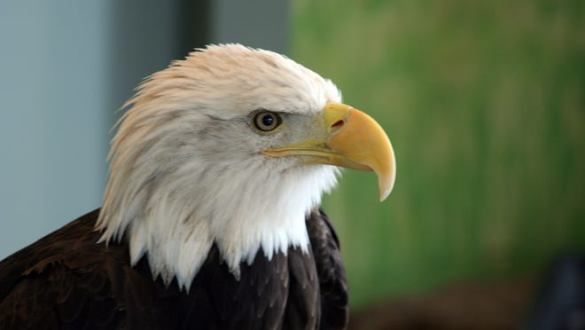 Five resident eagles help educate visitors at the National Eagle Center in Wabasha, Minn.