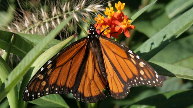 Monarch on Aclepias curassavica
