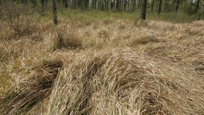 Cogongrass is an invasive species in Alabama.
