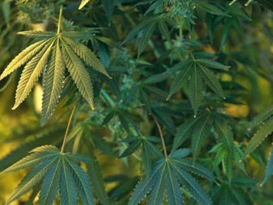 Marijuana plants confiscated in Indianapolis.