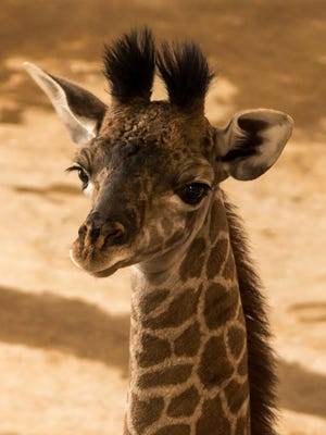 A male Masai giraffe calf was born at The Wilds on Aug. 4. Animal management staff said he appears to be strong and is staying close to his mother.