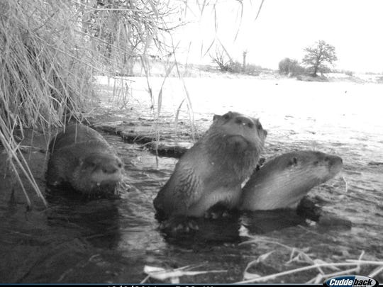 A trail-cam mounted near a hole in the ice took this close-up of three otters.