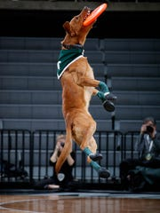 Ranger, a colleague of Zeke the Wonder Dog, catches a frisbee to entertain the crowd during halftime of the Michigan State-Oakland game Friday, Dec. 2, 2016, in East Lansing. Michigan State won 81-74. Ranger will become Zeke IV.