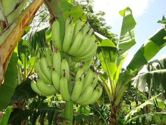 Go for local: Look in your backyard for the freshest bananas