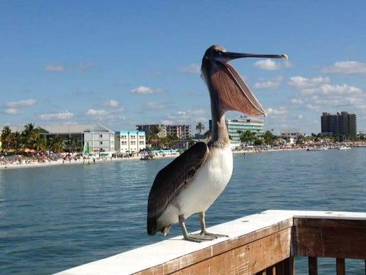 635717804389821055-fmb-pelican-pic