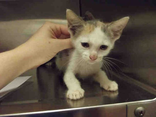 Bitsy is a 9-weei-old kitten available for adoption.