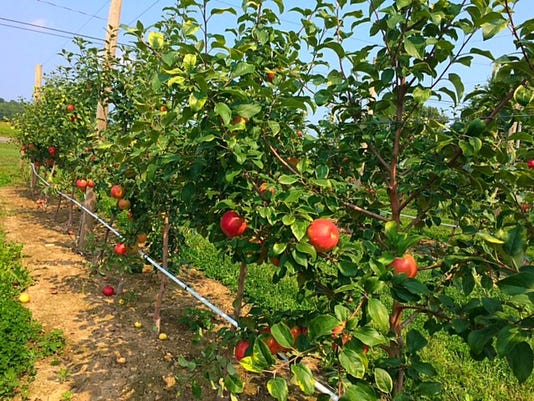 Wickham Farms' apple orchard