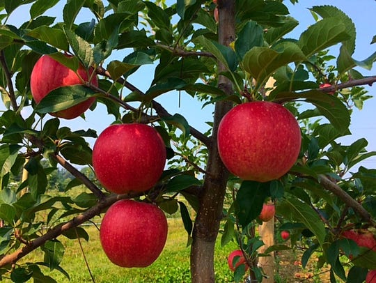 This is the site where locals can pick their own apples