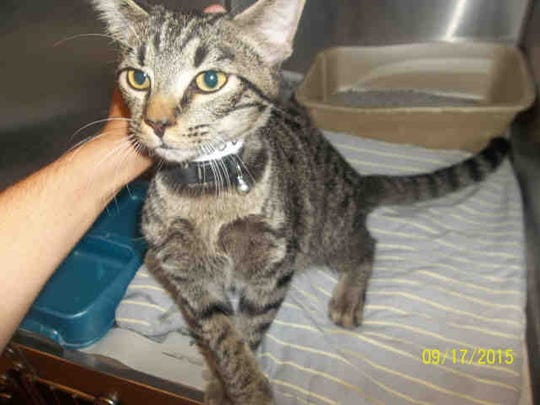 Joseph, ID A158350, is a 1-year-old male brown tabby who has been at the shelter nearly 30 days.