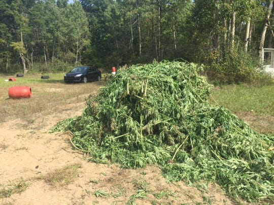 More than 1,500 marijuana plants were collected and