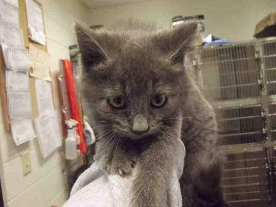 Summer is a 9-week-old gray kitten who has been at