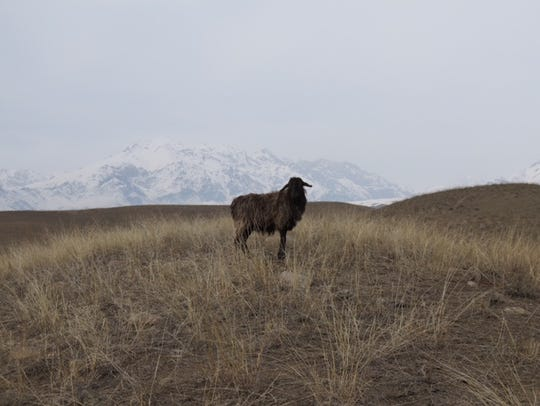 A sheep stands on the range with mountains in the distance.