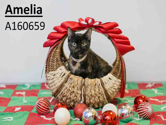 Amelia, ID A160659, is a 1-year-old domestic shorthair cat.