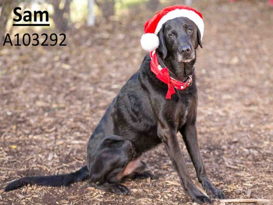 Sam, ID A103292, is an 8-year-old Labrador retriever who has been at the shelter 18 days.