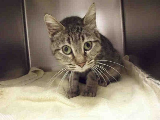 Nibbles, ID A161015, is a 3-year-old female brown and black shorthair tabby.