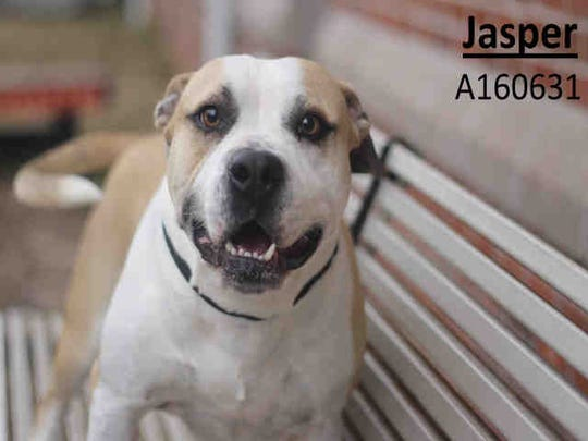 Four-year-old Jasper, ID A160631, is male American pit bull terrier. He has been at the shelter 25 days. Sugar, ID A160512, is an 11-month-old Labrador retriever mix who has been at the shelter 20 days.