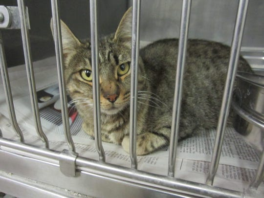 This domestic short hair 2 year old female black gray Tabby was found trapped in the area of Two Hart Mobile Home Park. She is sweet, friendly, litter box trained, seem to get along with other cats and likes to be cuddled. She needs a home that will love her. For more information about adopting a Pet of the Week or other furry friends visit Alamogordo Animal Control, 2910 N. Florida Ave., Monday through Saturday between noon and 5 p.m. or contact them at 439-4330.