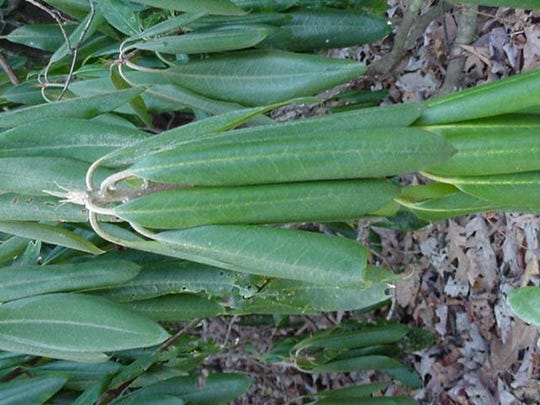 Rhododendron leaves are seen drooping but uncurled at 28 degrees Fahrenheit.
