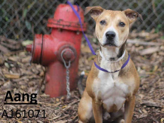 Aang, ID A161071, is a 19-month-old pit bull terrier