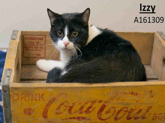 Little kitten Izzy, ID A161309, is an 8-month-old black and white domestic shorthair feline that has been at the shelter since December.