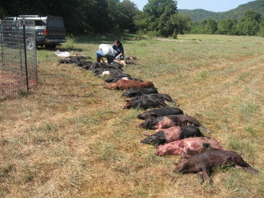 Feral hogs are becoming an increasing problem in Christian and Barry counties, state wildlife officials say. These 26 hogs were caught and killed in an Missouri Department of Conservation trap on private property in Christian County.