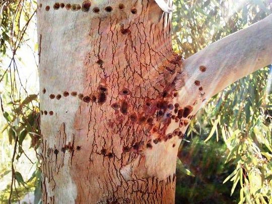 The holes show sapsucker damage to a blue ghost eucalyptus.