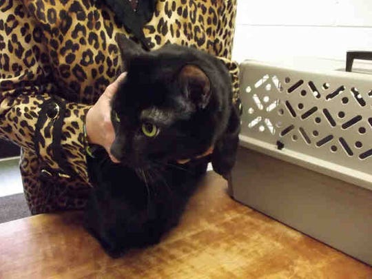 Dash, ID A162400, is a 5-year-old neutered male black shorthair cat. He's been at the shelter almost two weeks.