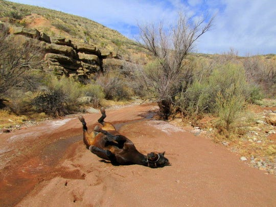 Belle the horse enjoys a roll in the sand.