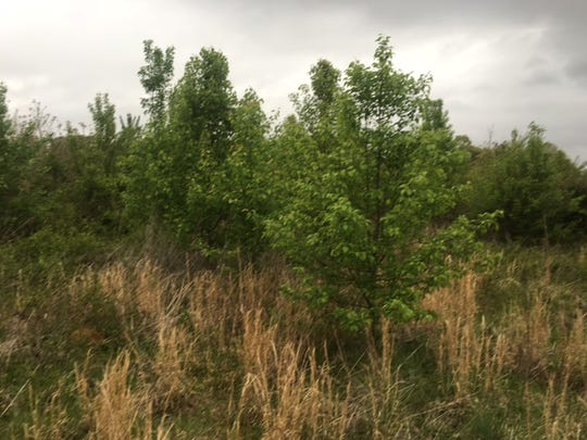 All the green leaves in these pictures are Callery pears.
