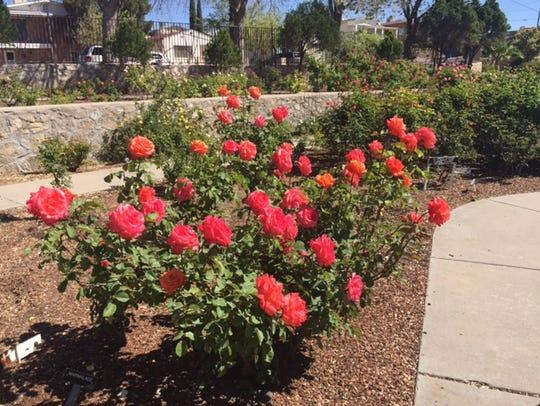 The El Paso Municipal Rose Garden will be open Saturday
